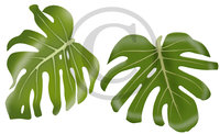 Hawaiian Monstera Clip Art