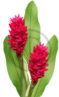 Hawaiian Red Ginger Clip Art 2