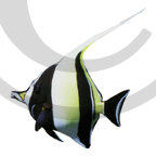 Hawaiian Fish Photo Clip Art